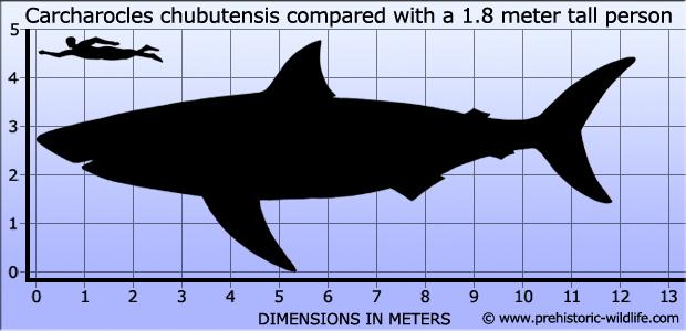 Top 10 größte(=schwerste)Meeresraubitere. Carcharocles-chubutensis-size